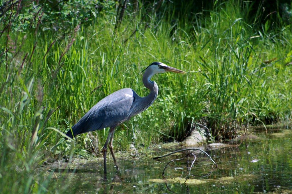 blue_heron_close_1